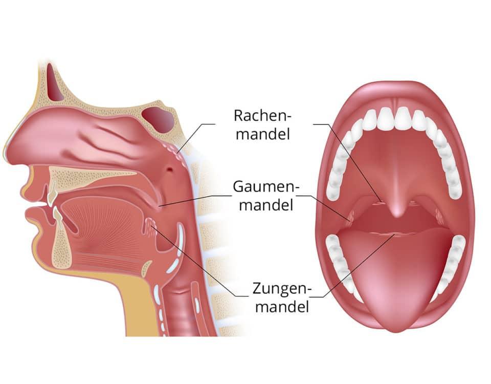 Großzügig Anatomie Der Unter Der Zunge Galerie - Anatomie Ideen ...