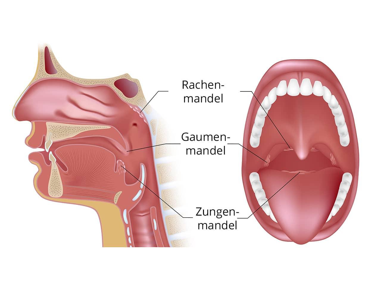 Charmant Anatomie Der Gaumen Und Rachenmandeln Fotos - Physiologie ...